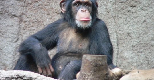 Chimpanzees are one of two exclusively African species