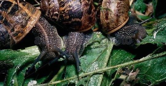 Garden snails (Helix aspersa: Helicidae) on a compost heap feeding